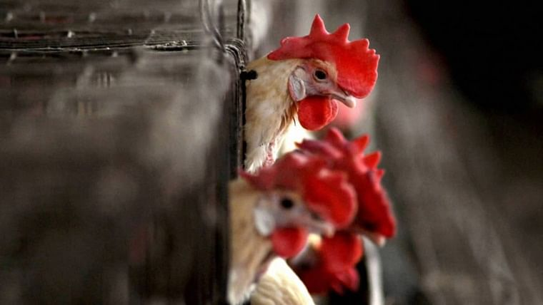 Avian influenza: From Maharashtra to MP, states where bird flu is confirmed  for poultry birds