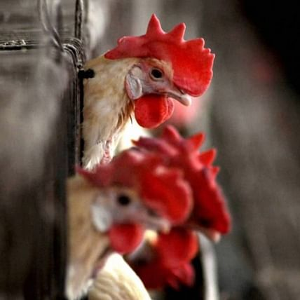 Bird flu outbreak: Test reports confirm birds in Mumbai, Thane, Parbhani, Beed, Dapoli died due to avian influenza