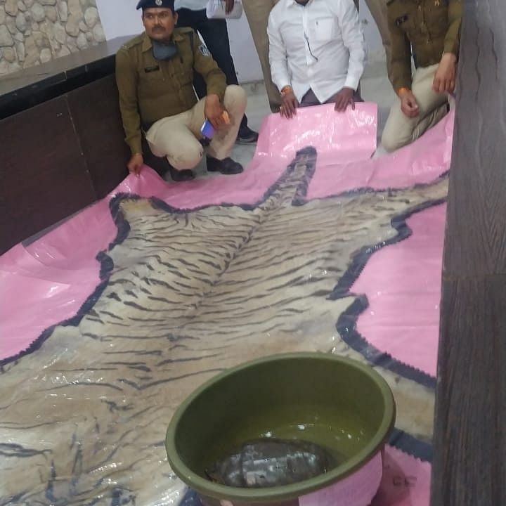 Ujjain: 2 held with three tiger skins worth Rs 2 crore