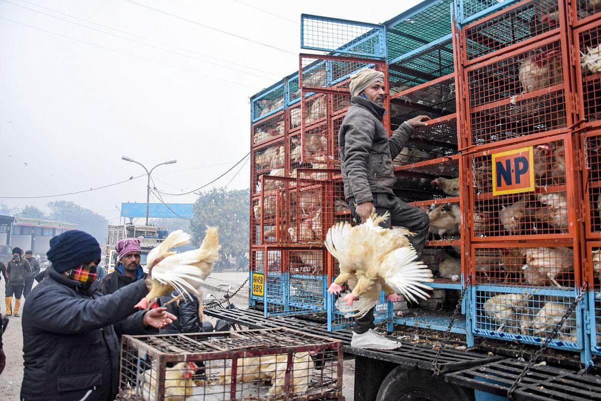 Bird Flu in Maharashtra: State logs 4,479 bird deaths in single day