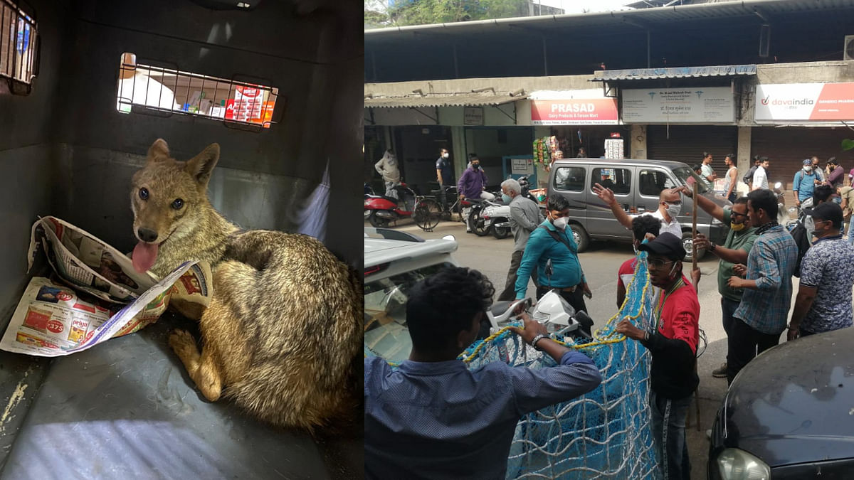 Thane: Stranded jackal rescued by the forest department and local animal activists