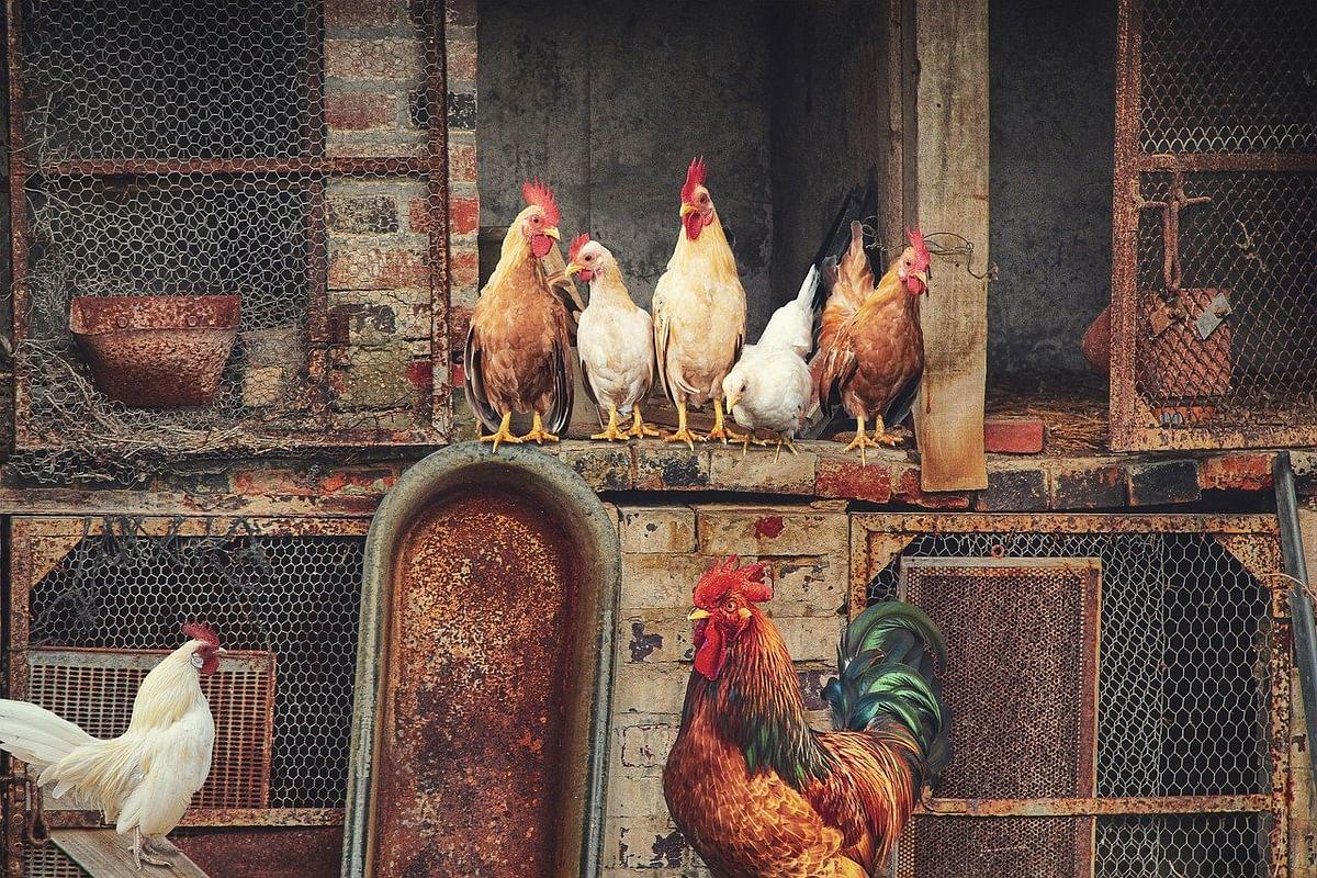 Bird Flu in Delhi: NDMC bans sale, storage of poultry or processed chicken