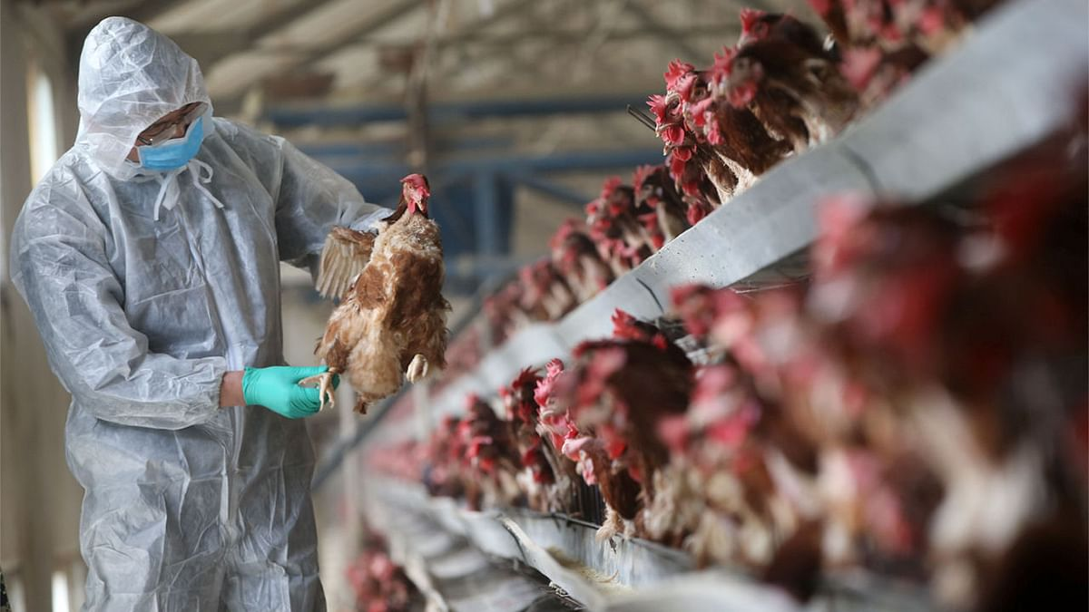 Bird flu: 626 poultry birds die in Maharashtra on Friday