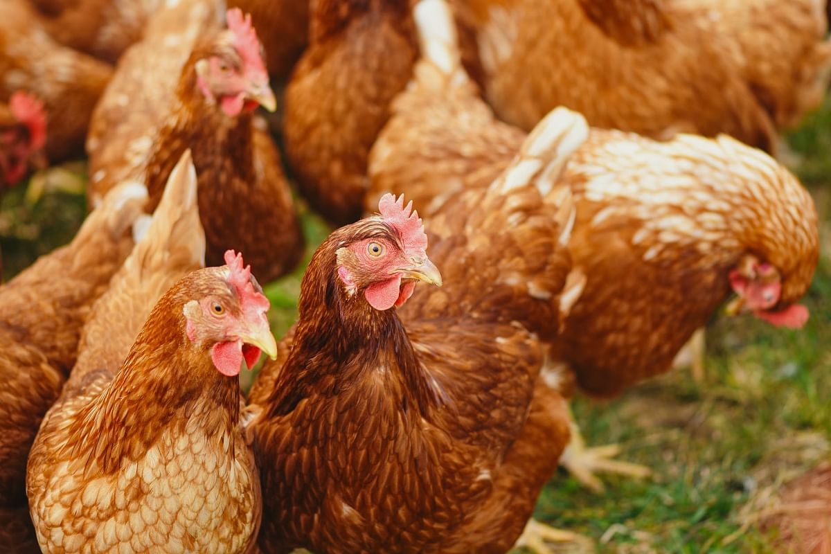 Bird flu scare: Maharashtra bans sale of hens from MP, Gujarat