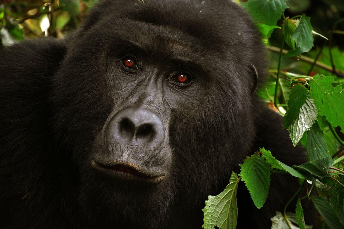 US: Gorillas test positive for COVID-19 at San Diego Zoo Safari Park