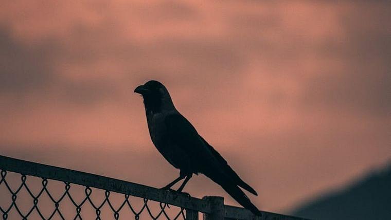 Mumbai: Amid bird flu scare, 11 crows found dead in Chembur