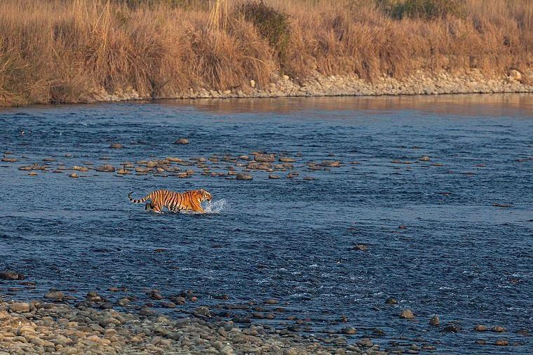 Close encounters with tigress Paro at the Corbett Tiger Reserve amid COVID-19 pandemic