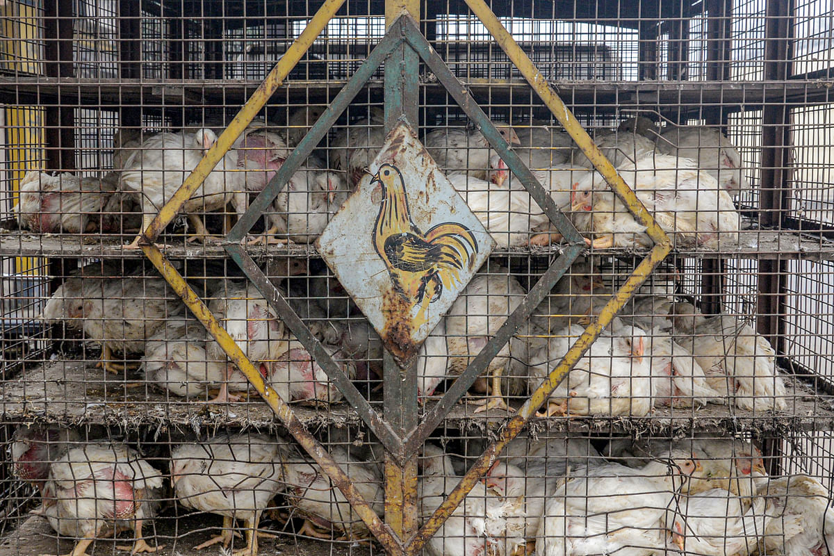 Avian flu: Culling operation underway as bird flu confirmed for poultry birds in 5 states