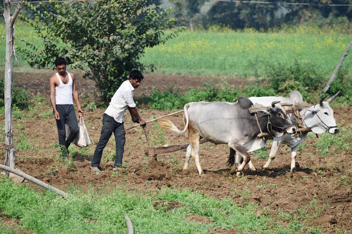 Farmers plough the field, at Bhedaghat village in Jabalpur on Monday.