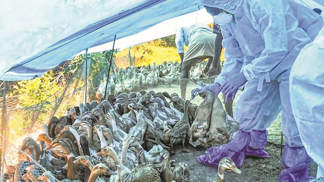 5,151 birds die due to flu in Maharashtra