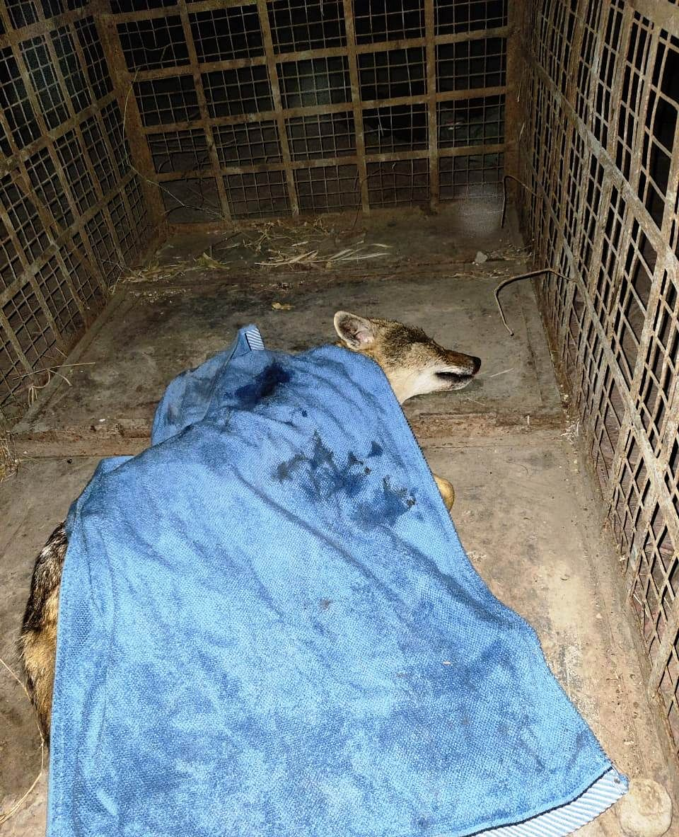Indore: Injured jackal rescued from Bicholi bypass