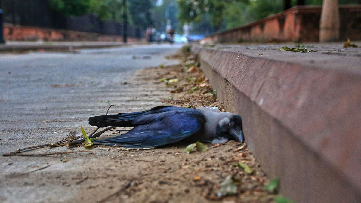 A dead crow.  An alert has been sounded across the country after the detection of bird flu cases in six states.