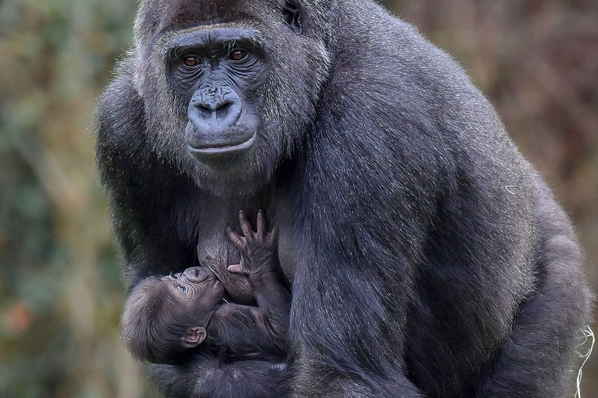 At least two gorillas at San Diego Zoo Safari Park test positive for Covid-19