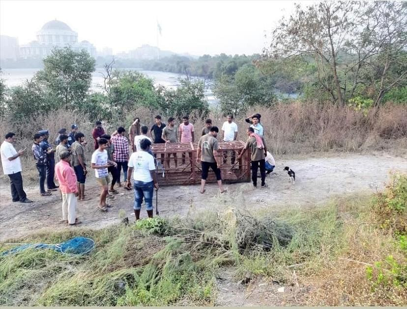 Navi Mumbai: Crocodile spotted behind NMMC headquarters rescued after two days operation