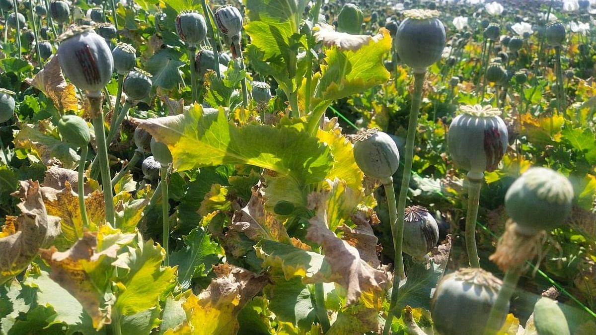 Madhya Pradesh: Opium cultivators threaten agitation in Mandsaur district