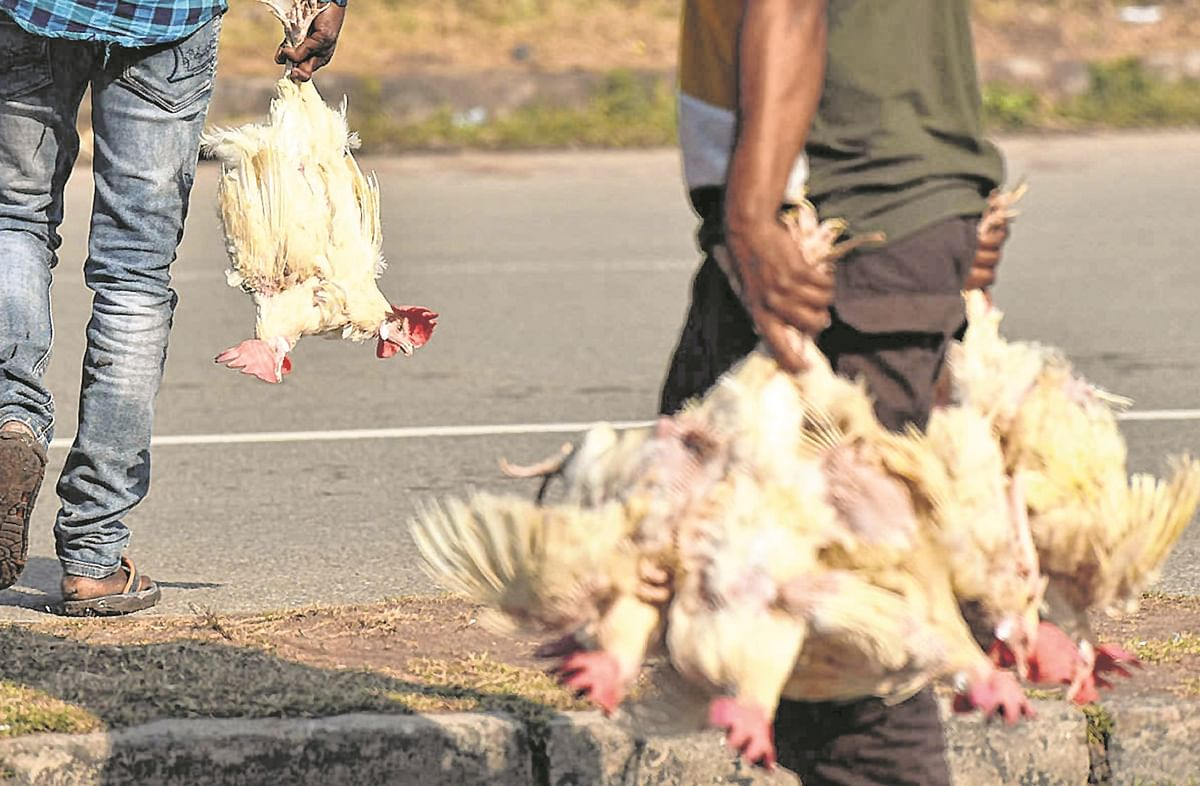 2,726 birds, including 2,708 poultry, found dead in state