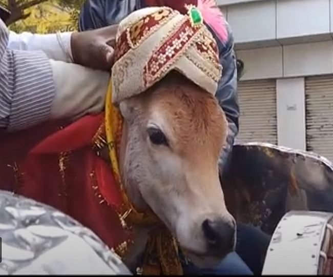Marriage of two calves solemnized in Mathura