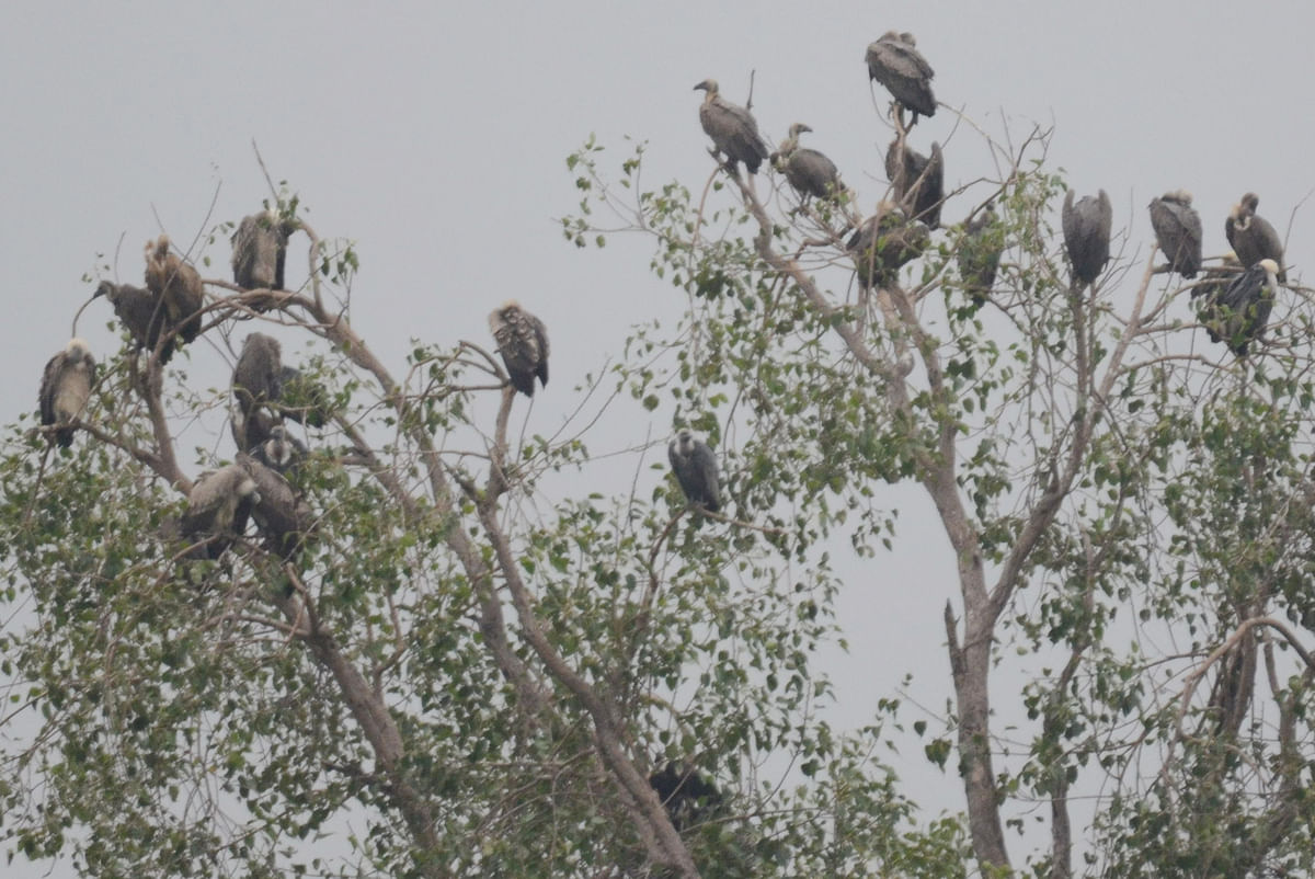 Madhya Pradesh: Known for vultures, Geedgarh village now has only few left
