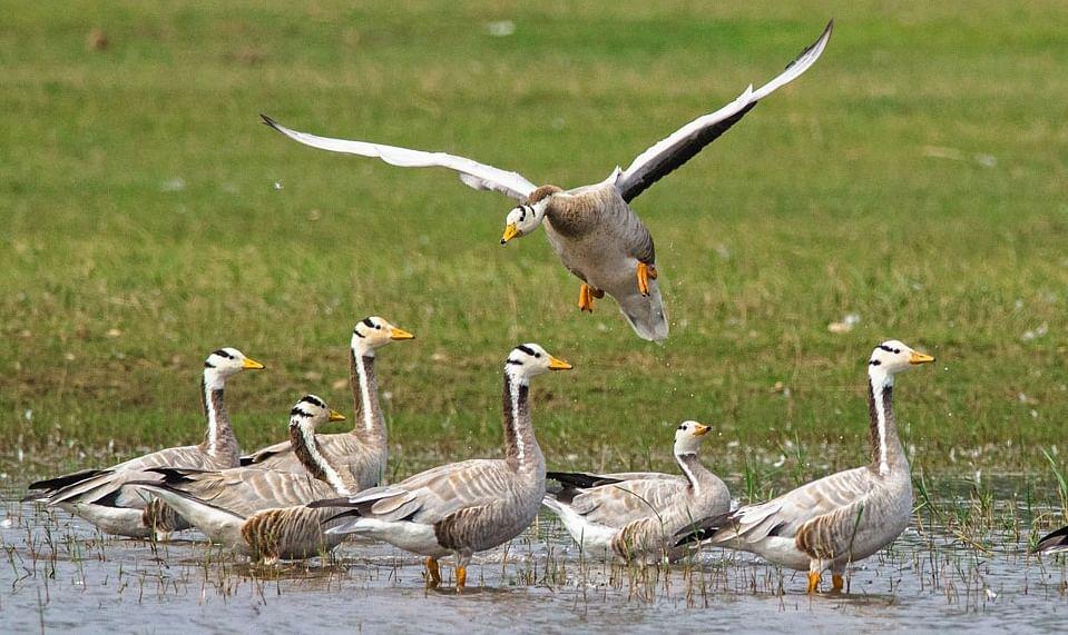 Influenza-hit Pong wetlands host 40,570 bar-headed geese