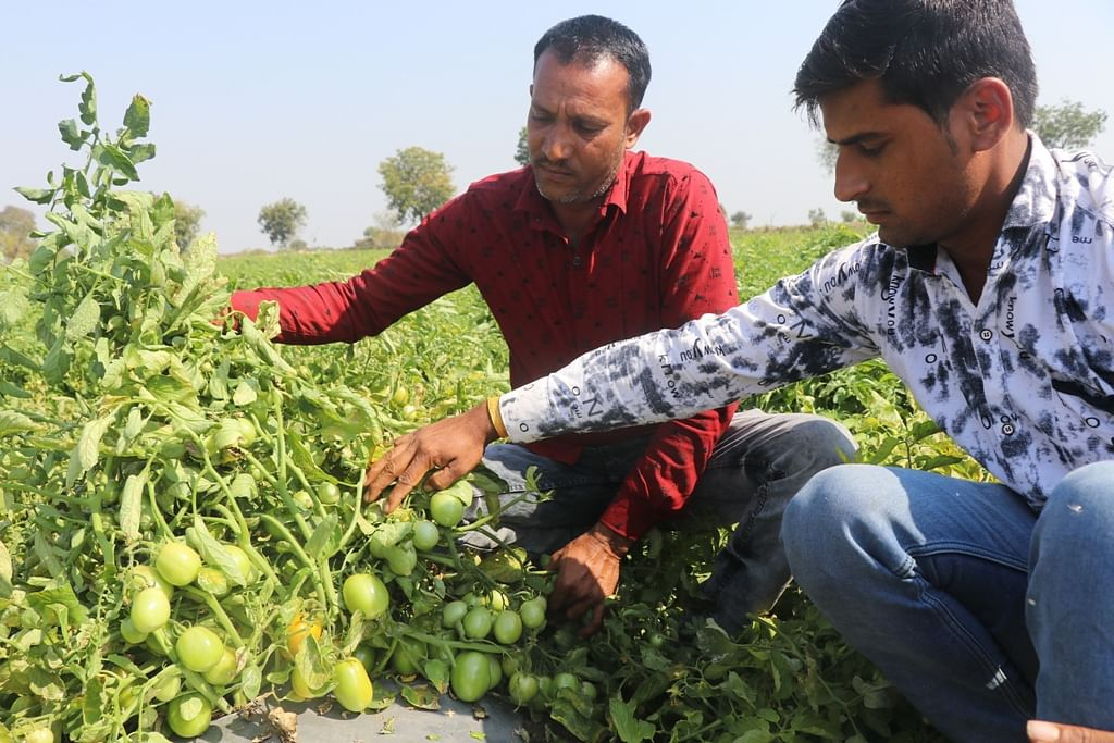 KHARGONE: After chillies, tangy tomatoes to flavour your taste buds as farmers go for contract farming in Madhya Pradesh's prime chilli producing district