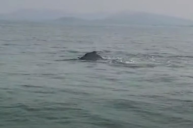 Mumbai: Indian Ocean humpback dolphins spotted off the coast, experts not surprised