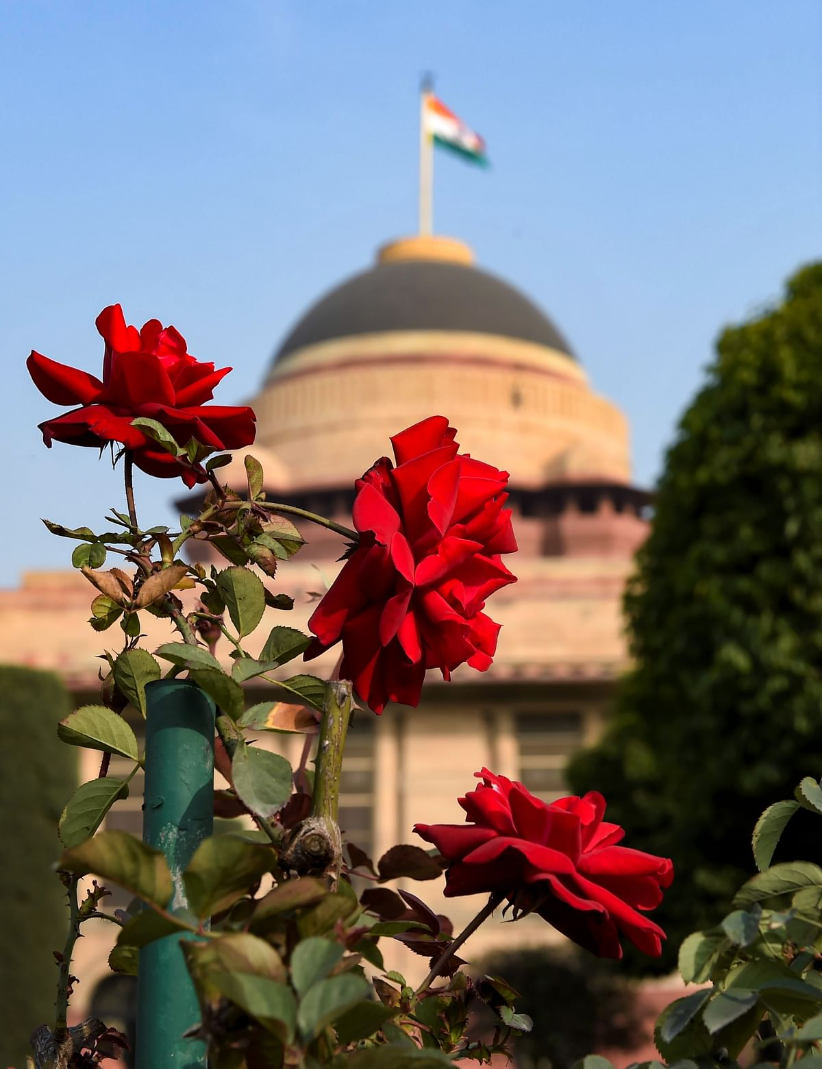 New Delhi: Roses bloom in the Mughal Gardens during a press preview.