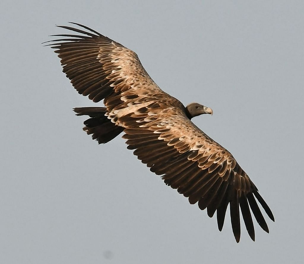 2020-'21 census: Vulture population up by 1,011 in Madhya Pradesh, Panna has the highest with 983