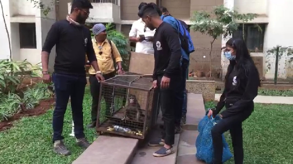 Thane: Two monkeys causing chaos in Dombivli's residential areas caught, to be rehabilitated soon