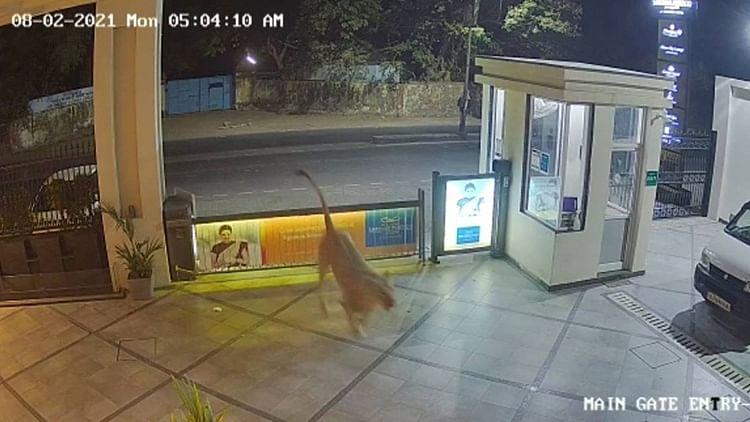 Watch: CCTV captures lion entering a hotel in Gujarat's Junagadh