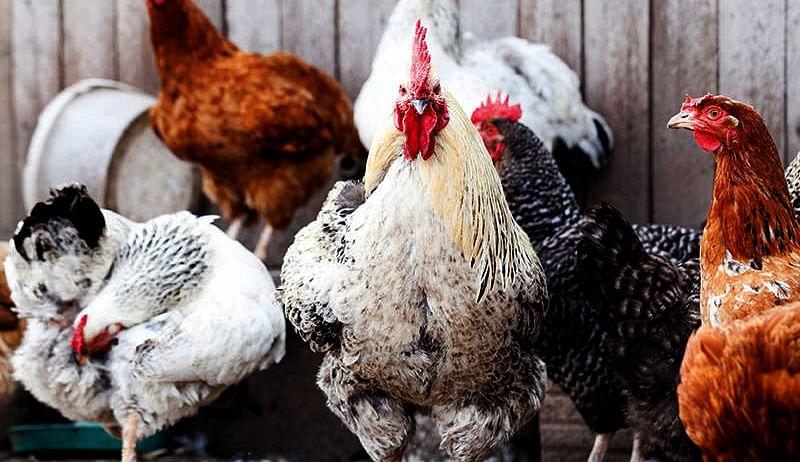 Bird flu in Maharashtra: 269 birds, including 266 poultry birds, dead
