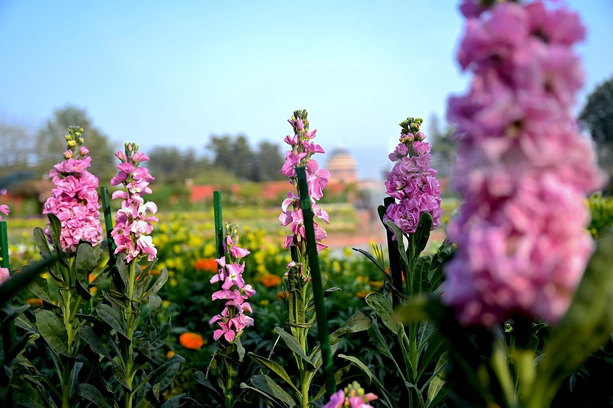 Flowers bloom at the Mughal Gardens of the Indian Presidential Palace in New Delhi.