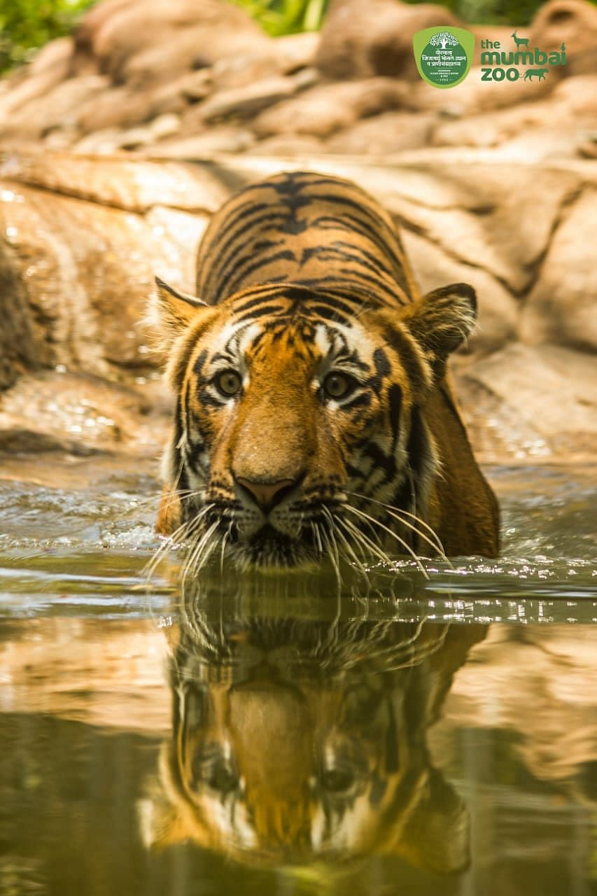 MP IN CATCH-22 SITUATION: As tiger numbers increase and forest cover remains stagnant, big cats are on the prowl in human-inhabited areas