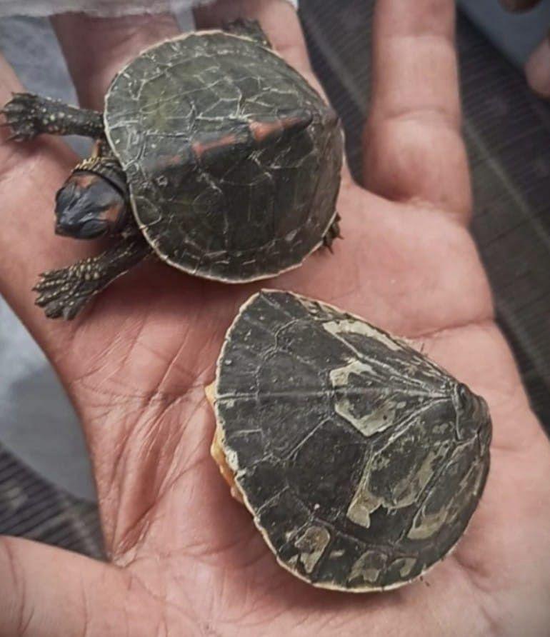 The Australian turtles