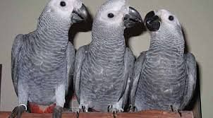 After Azam's bufallos, now FIR for missing rare breed African parrot