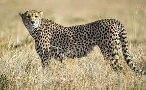THE COVID EFFECT: Cheetah translocation to Madhya Pradesh delayed