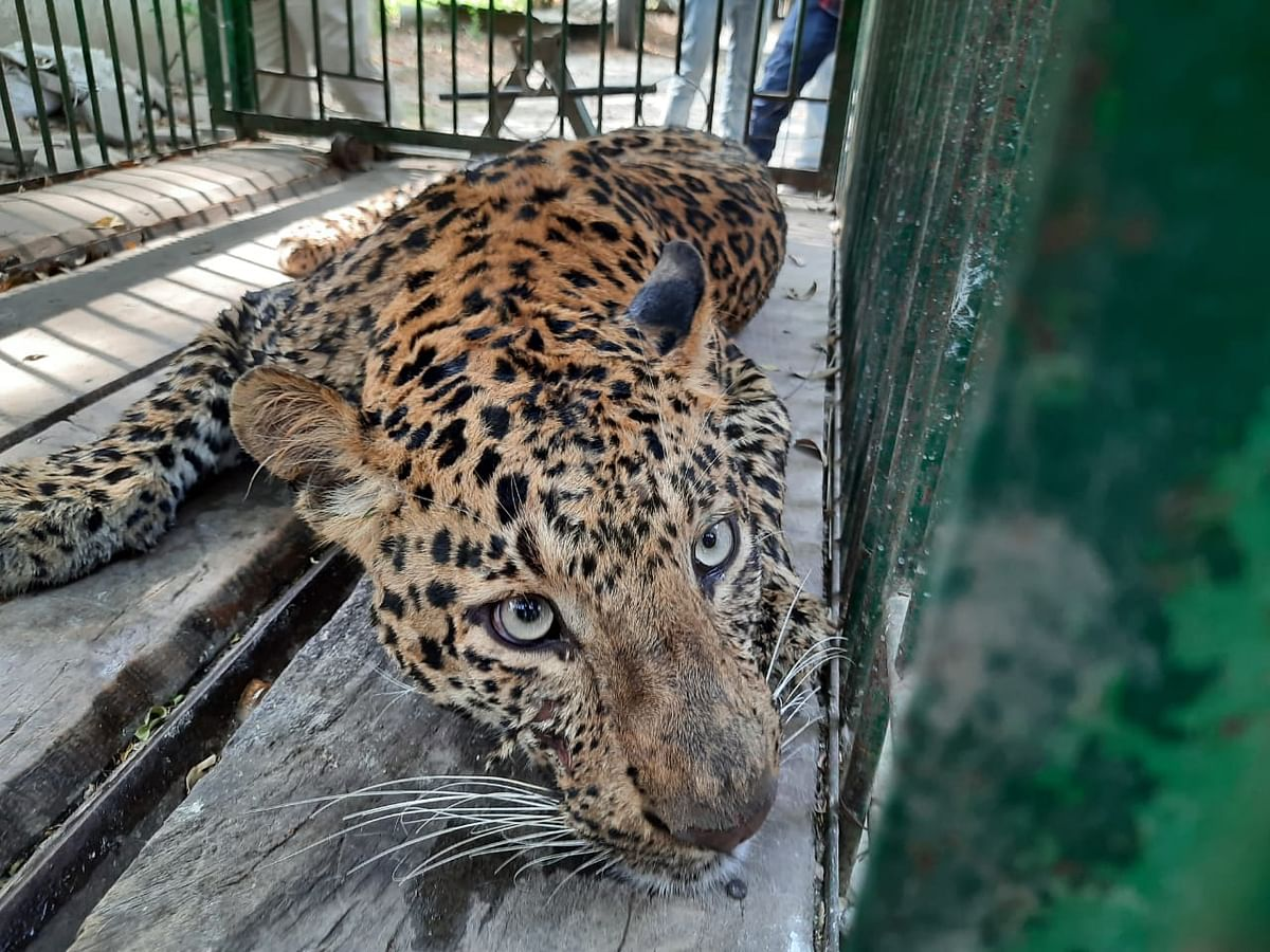 Madhya Pradesh: The leopard suffered dehydration, could have lost its life if not rescued in time, claims city zoo in-charge Dr Uttam Yadav