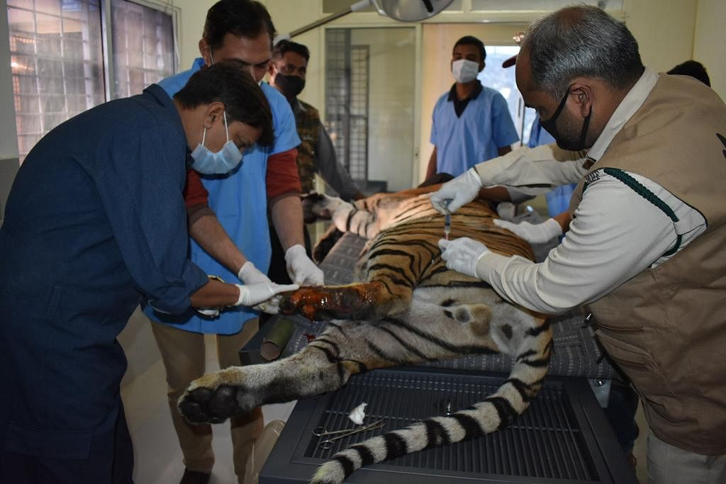 Doctors treating the injured tiger.