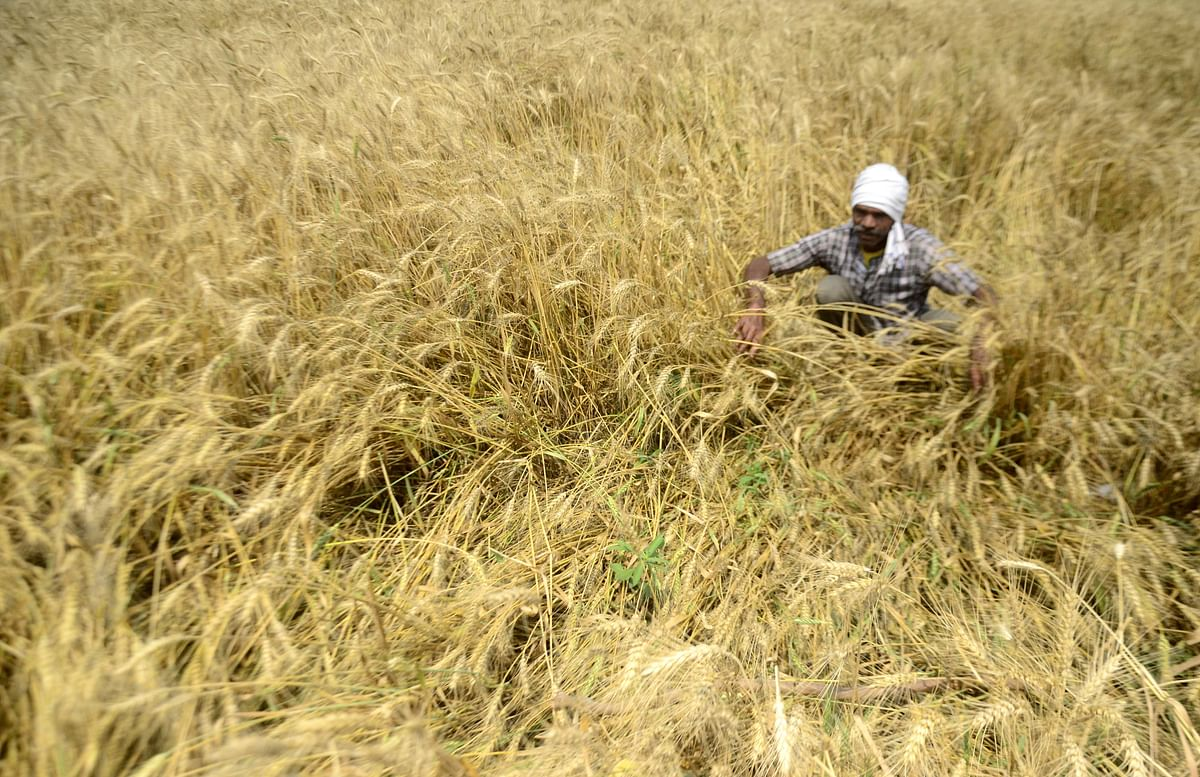 Untimely rain, hailstorm leave standing crops damaged