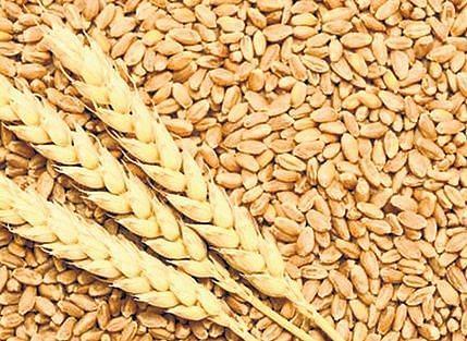 Indore: Wheat falls on low bulk demand as supply rises in Madhya Pradesh's key market