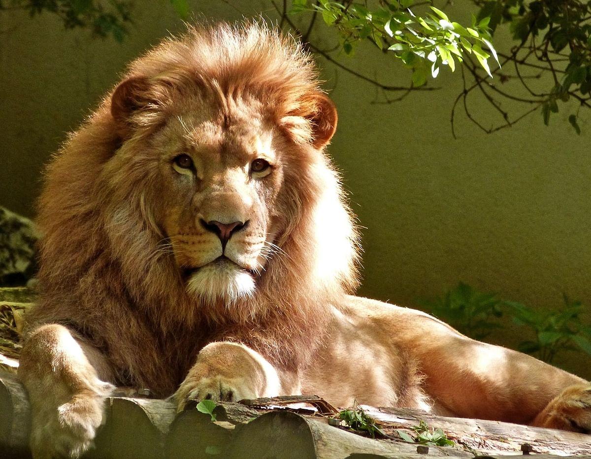 Kolkata: 'Drunk' man enters lion's enclosure at Alipore Zoo, seriously injured