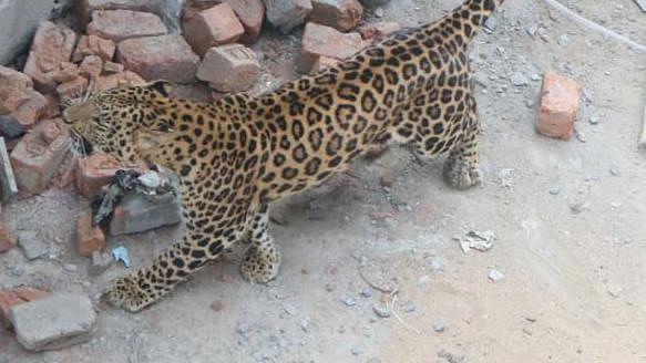 Madhya Pradesh: Leopard attacks 10-year-old boy in Amjhera area in Dhar, victim under treatment