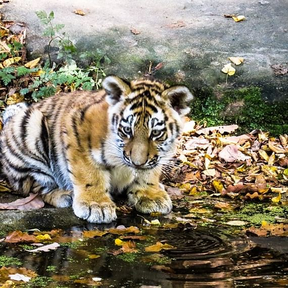 Maharashtra: Tiger cub run over by goods train in Gondia