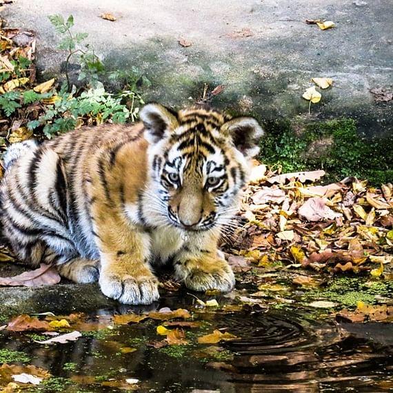 Maharashtra: Tiger cub run over by goods train in Gondia