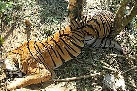 Bhopal: 93 tiger deaths in 3 yrs in state: Minister