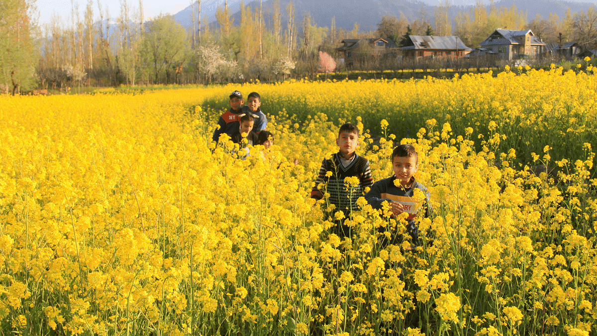 In Pictures: Kashmir Valley turns yellow with blooming mustard fields