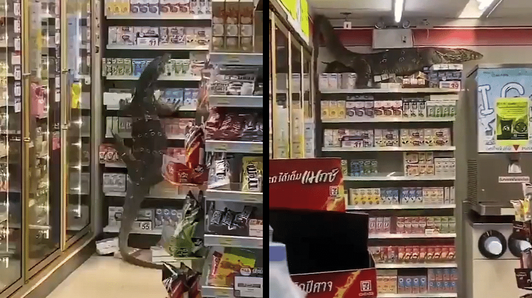 Watch: Massive monitor lizard rampages through Thai supermarket; shoppers  panic as it climbs onto a shelf