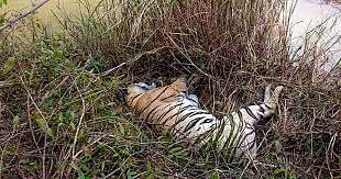 Madhya Pradesh: Another tiger carcass found in Bandhavgarh Tiger Reserve
