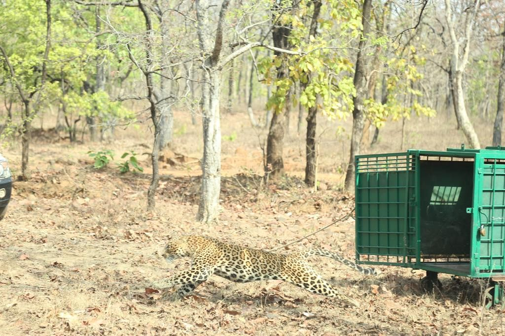 Madhya Pradesh: Leopard sent to its natural habitat in Ratapani forest