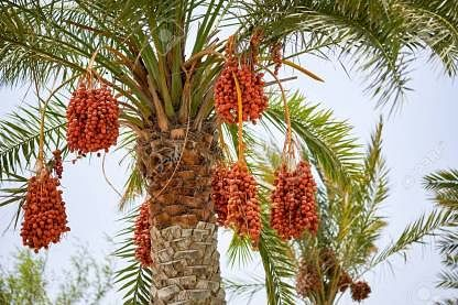 A date with dates in holy month of Ramadan