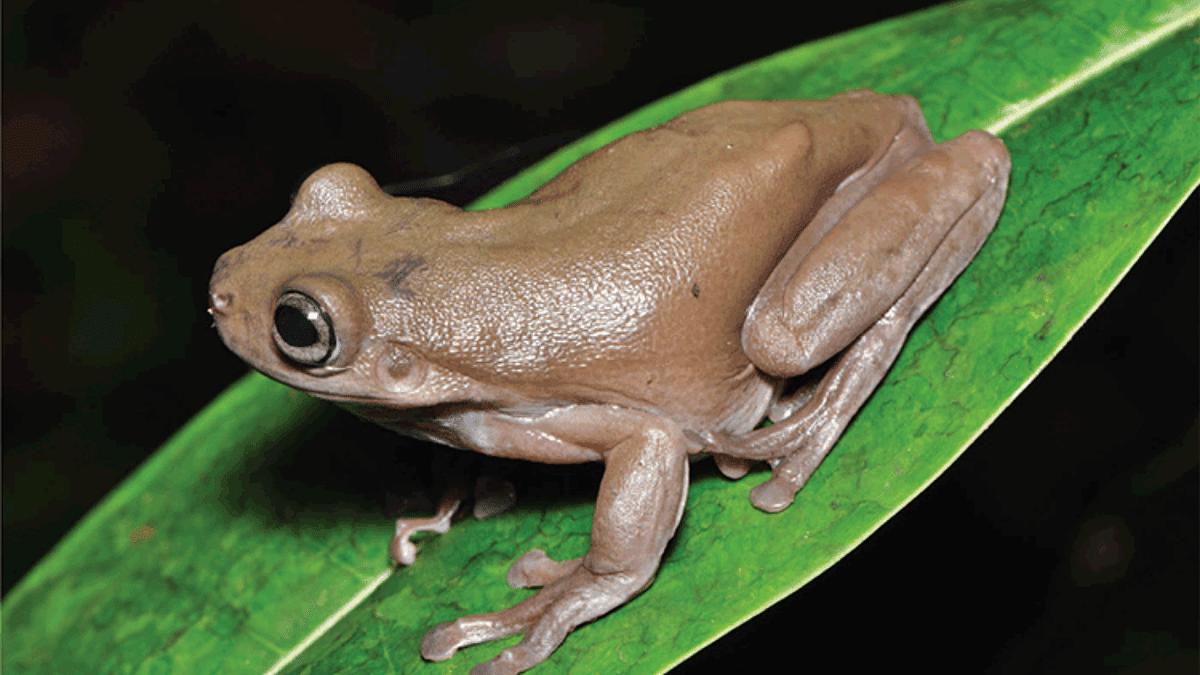 Chocolate frog aka Mira
